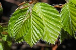 Beech (Fagus sylvatica)